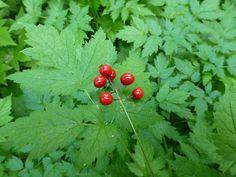 Actaea rubra – Baneberry. Indian Bar via Cowlitz Divide Hike.