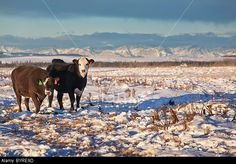 View top-quality stock photos of Cattle Standing In A Snowy Field With Mountains In The Background. Find premium, high-resolution stock photography at Getty Images. Calgary, Cattle, Cow, Canada, Stock Photos, Photography, Animals, Image, Google Search