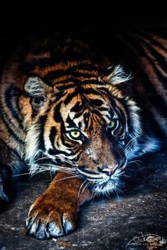 ♂Wildlife photography tiger : Do you know what's privacy? Can't a tiger get some sleep? Primates, Mammals, Big Cats, Cool Cats, Cats And Kittens, Beautiful Cats, Animals Beautiful, Cute Animals, Tiger Pictures