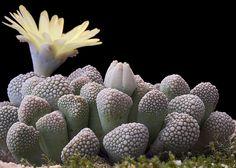Titanopsis primosii    ;)