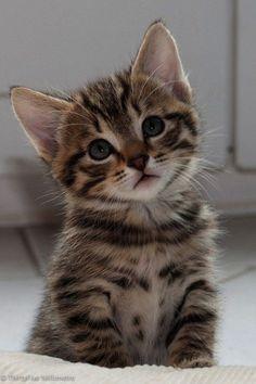 Adorable Cute Grey Tabby Kitten Winnie! Pets