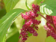 Laskavec - http://www.pestovani.in/cz/kvetiny-okrasne-rostliny/