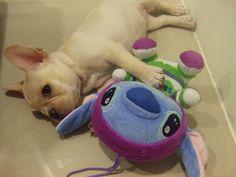 Frenchie with a Stitch... I need to get MY Stitch a stuffed Stitch