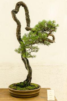 botanischer-garten-muenchen-2014-pinus-sylvestris-walter-pall.jpg (800×1200)