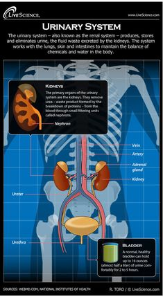 Diagram of the Human Urinary System (Infographic) #medschool #doctor #medicalstudent #medicalschool #resources #step1 #study #inspiration #school #tips