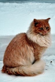 """""""It is with the approach of Winter that cats wear their richest fur and assume an air of sumptuous and delightful opulence."""" --Pierre Loti"""