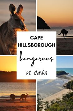 Kangaroos at Dawn - Cape Hillsborough - This Wild Life of Mine Wildlife Tourism, Big Country, Coast Australia, Kangaroos, Destin Beach, Wild Life, East Coast, Dawn, The Good Place