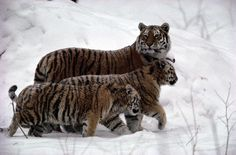 Tigress with half-grown cubs, on the alert for dangers, what a good mama. <3  It always looks so crazy to me, seeing tigers in snow! Even crazier than seeing them in water... :)