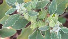 15 Best Ashwagandha Lesson images | Herbalism, Herbs ...