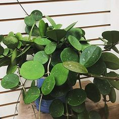 Hoya Obovata - How to grow & care Easy Care Plants, Plant Care, Hoya Obovata, Sensitive Plant, Hoya Plants, Pitcher Plant, Growing Succulents, Wax Flowers, Spider Plants