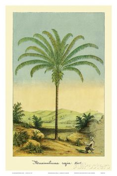 Maximiliana Palm Tree, Botanical Illustration, c.1854 Prints by Ch. Lemaire at AllPosters.com