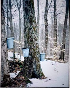 Tapping Maple Trees For Sap, Collecting in buckets.