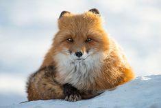 Ivan immortalise la beauté innocente des renards arctiques qui vivent dans la…