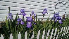 Bearded Iris's