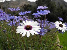 Kirstenbosch Botanical Gardens Planting, Gardening, Famous Gardens, Scenery Wallpaper, Cape Town, Nice Things, Botanical Gardens, South Africa, Home And Garden