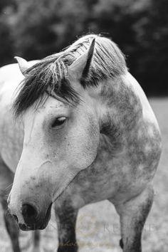 Dapple Grey Percheron Horses - Black and White Photography