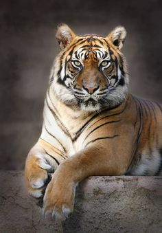 Tiger by Carles Just on 500px