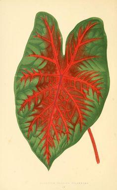 1867-1870. - Les plantes a feuillage coloré :  introduction par Charles Naudin…