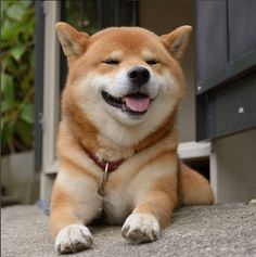 Ryuji, the handsome Shiba Inu dog from Japan loves to smile and be happy!