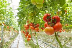 Grow Tomatoes Problems If you want to eat tasty tomatoes grown from your garden this summer, here are the best tips gardening tips. Gardening has never been this easy! Tomato Plant Care, Tomato Plants, Outdoor Planters, Diy Planters, Tips For Growing Tomatoes, Grow Tomatoes, Culture Tomate, Tomato Growers, Tomato Seedlings
