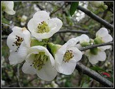 chaenomeles nivalis planted 27.3.16