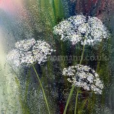 A watercolour painting of Queen Anne's Lace, otherwise known as Cow Parsley by Eleanor Mann