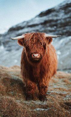Scottish Highland Calf, Baby Highland Cow, Scottish Cow, Highland Cattle, Scottish Highlands, Highland Cow Tattoo, Cute Baby Cow, Baby Cows, Cute Cows