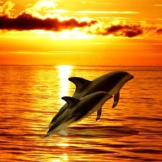 Beautiful-Ocean-Sunset - want to be there every afternoon. Orcas, Beautiful Creatures, Animals Beautiful, Water Animals, Ocean Sunset, Water Life, Ocean Creatures, Beautiful Ocean, Sunset Photos