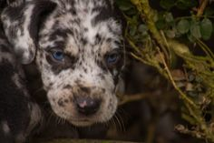 Painted K Ranch Catahoulas Catahoula Cur, Leopard Dog, Hound Dog, Working Dogs, Rodeo, Louisiana, Best Dogs, Doggies, Ranch