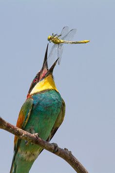 Merops apiaster/ Bee eater