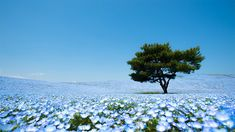 The Hitachi Seaside Park is one of the most beautiful parks in the planet: A place where millions of flowers grow every year in the most amazing displays of colors imaginable. Here you can see about 4.5 million baby-blue nemophilas blossoming in April—but there's more, much more.