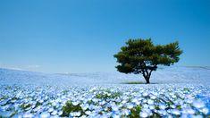 Ce lieu magique, c'est le Hitachi Seaside Park qui se situe au Japon.