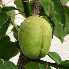 By kleintiereonline.de. . Stand der Kulturen beim Steinobst: Aprikose. Die bekannte und beliebte Steinfrucht Aprikose ist hier in Mitteleuropa heimisch geworden. Doch die milden Winter führen dazu, dass der Blühzeitpunkt früher stattfindet; das kann zu Problemen führen, wie wir es in den vergangenen zwei Jahren feststellten. Unser Aprikosenbaum trägt nicht; was könnte die Ursachen sein? - Erste Blüten zeitig im Frühjahr und damit stark frostgefährdet. - Wurzeln bekommen zu wenig Wasser oder… Stark, Coconut, Fruit, Roots, Berries, Water