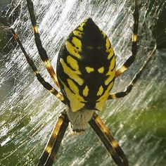 large white spider minnesota | After laying eggs, the female dies. The baby spiders hatch from their ...