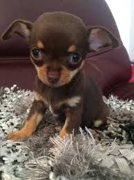 Image result for chocolate chihuahua