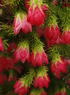 Gillham's-Bell: Darwinia oxylepis