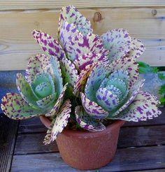 Kalanchoe marmorata é uma planta perene, suculenta,. Unusual Plants, Cool Plants, Air Plants, Garden Plants, Bonsai Plants, Garden Mulch, Indoor Plants, Succulents In Containers, Cacti And Succulents