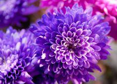 Purple Chrysanthemums | Flickr - Photo Sharing!