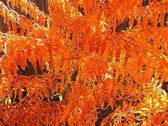 Tiger Eye Sumac's fall foliage
