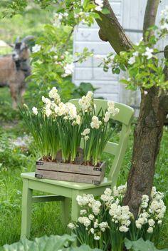 """Frühling im Topf // Die dicht gefüllte, mehrblütige Narzisse """"Bridal Crown"""" eignet sich ideal für Beete oder auch Blumentöpfe. Wir haben sie einfach in eine Holzkiste gepflanzt. Das sieht traumhaft schön aus und duftet herrlich nach Frühling. Da staunt auch der Ziegenbock."""