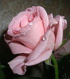 Pretty pink Rose........