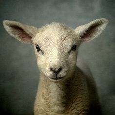 Cute new born lamb