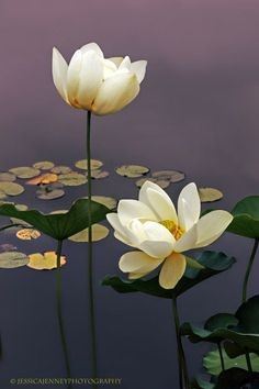 Lotus blossoms at the New York Botanical Garden. I have this image with a quote from Lord Byron in my Lotus Blossom gallery. Ikebana, Lotus Painting, Lotus Design, Flower Images, Trees To Plant, Planting Flowers, Flowering Plants, Flowers Perennials, Flowers Garden