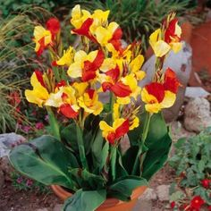 Canna Cleopatra lily...I heard it's great for containers....