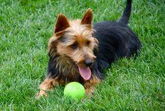 img_7645_Australian_Terrier_Puppies Australian Terrier Puppies, Norfolk Terrier Puppies, Terrier Rescue, America, Animals, Animales, Animaux, Animal, Animais