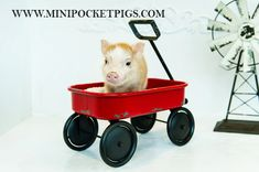 Dedicated to breeding high quality and healthy small indoor pet Mini & Juliana Pigs Mini Pigs For Sale, Pocket Pig, Juliana Pigs, Indoor Pets, Pet Pigs, Healthy, Animals, Animales, Animaux