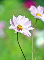 Blühende Cosmea im Garten
