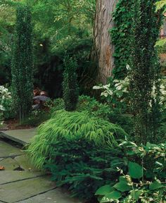 Conifers for Shade - shade-tolerant evergreens, like Emer­ald Spreader™ Japanese yew (USDA Hardiness Zones 5–