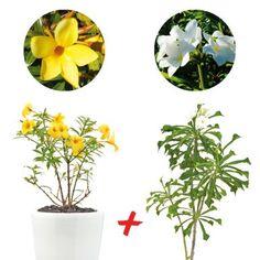 COLIJARDIN  - Un plant d'Alamanda nain en terre, pot de 2 à 3 litres, hauteur 35/45 cm - Un plant de Frangipanier nain en terre, pot de 2 à 3 litres, hauteur 30/50 cm - Un guide d'entretien de vos plantes tropicales