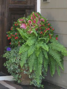planter fuschia fern - Google Search